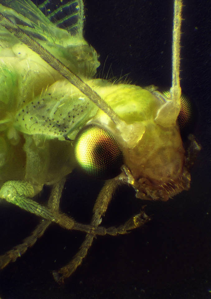 Insekt Florfliege