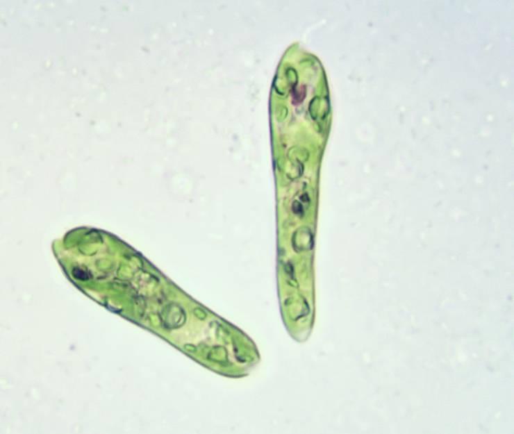 Augentierchen wie Euglena